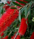 bottle brush kings park special