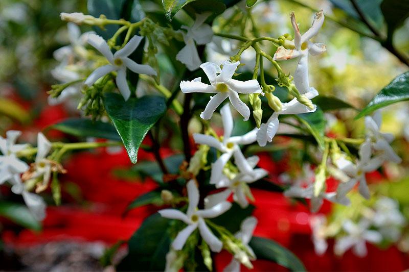 Chinese star jasmine