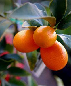 Citus kumquat nagami