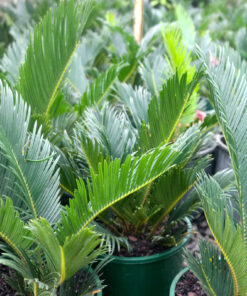 Cycas revoluta Sago Palm 20cm pots