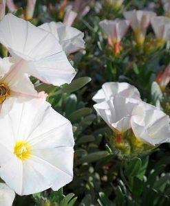 silver bush convolvulus cneorum