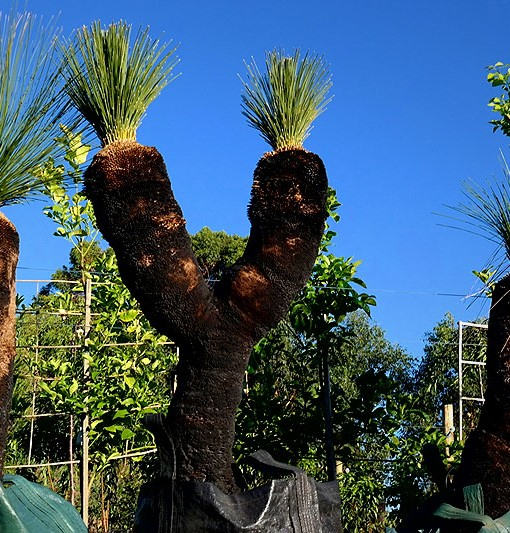 xanthorrhoea-grass-tree
