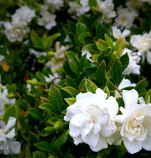 gardenia-florida