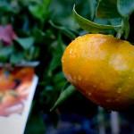 imperial mandarine citrus fruit tree