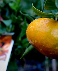 imperial mandarine citrus fruit tree