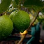 Citrus Tahitian Lime