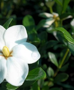 gardenia grandiflora star