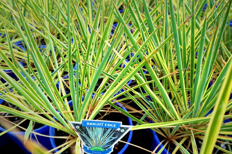 yucca bright edge lakeside plants nursery. Black Bedroom Furniture Sets. Home Design Ideas