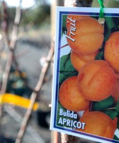 Apricot Bulida