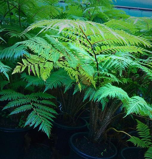 australian-tree-fern