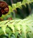 australian-tree-fern-fronds