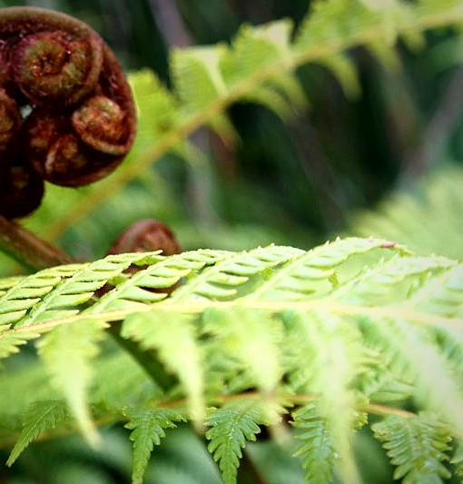 australian-tree-fern-fronds