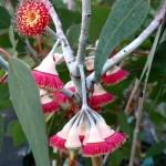 eucalyptus-silverprincess