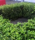 japanese-box-hedge