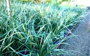liriope-evergreen-giant-pots