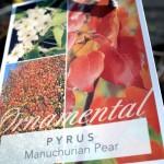 manchurian-pear