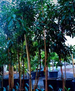 frangipani without flowers