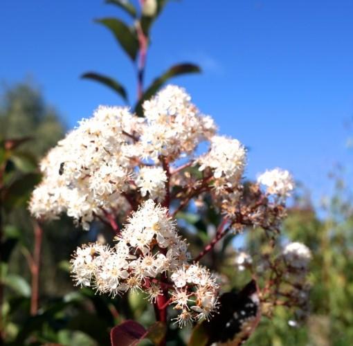photinia-robusta-flowers