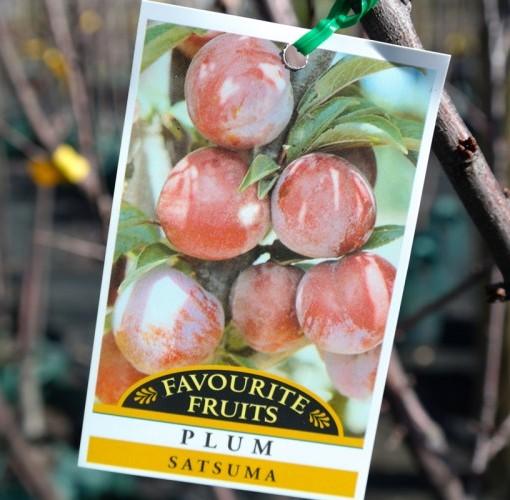 plum-satsuma