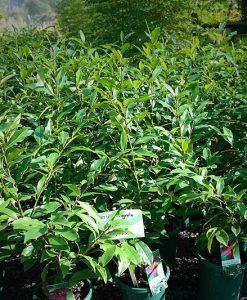Viburnum Emerald Jewel Lakeside Plants Amp Nursery