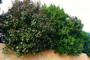 red Cottonwood Hibiscus - good screening plant