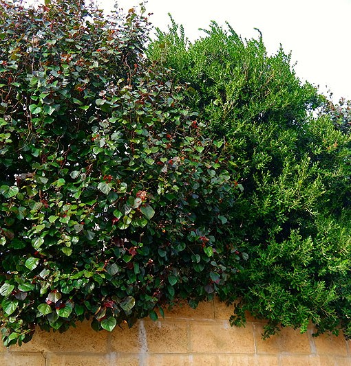 how to grow red cottonwood