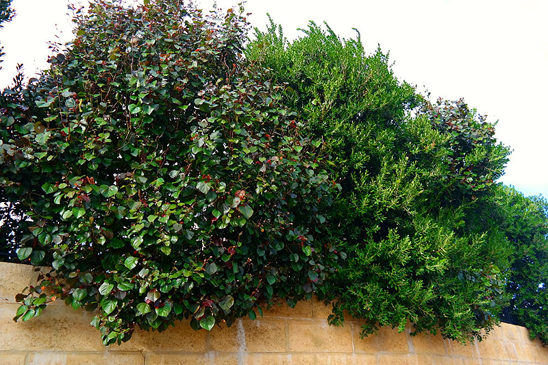 Glamorous Tall Narrow Shrubs For Screening Photos Best