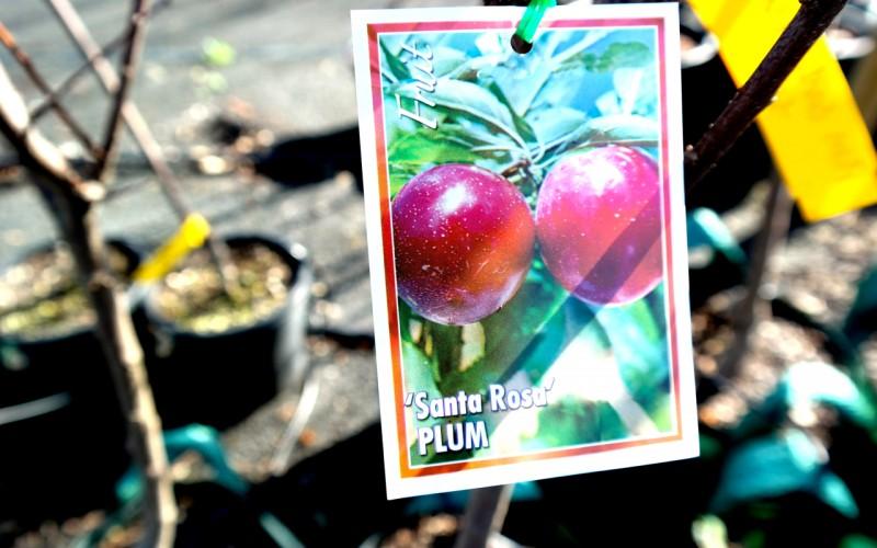 Plum Santa Rosa Lakeside Plants Amp Nursery