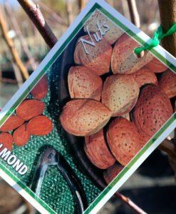 almond self pollinating