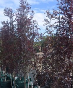 Claret Ash with Burgundy Autumn Foliage