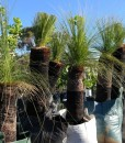grass-tree-row