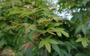 Green Japanese Maple Foliage