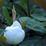 magnolia-little-gem