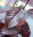 prunus-nigra-foliage