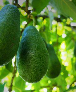 avocado fruit fuerte