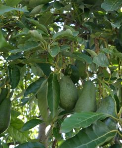 Avocado Tree Hass