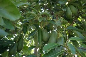 Avocado Tree Hass