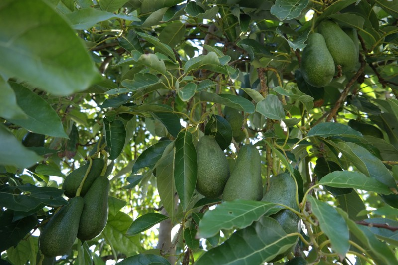 Bacon Avocado Tree Pictures