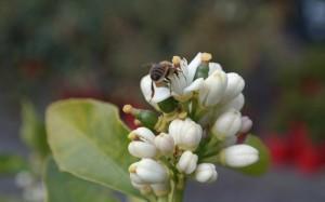 bees on citrus blossom