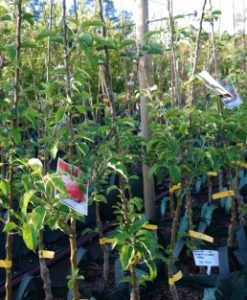 apple tree row in nursery