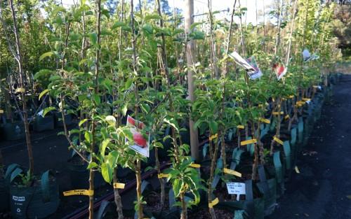 apple tree row in nursery