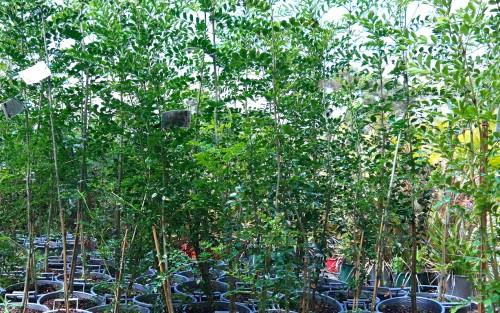 Fraxinus Griffithii Pots - Evergreen Ash