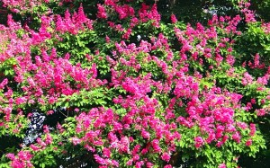 lagerstroemia-crepe-myrtle