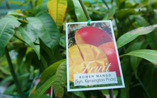 Mango Tree Kensington Pride or Bowen