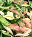 nandina-foliage