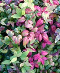 Nandina Domestica foliage