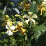 hymenosporum-flavum-flowers