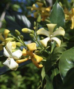 Hymenosporum Native Frangipani Flowers