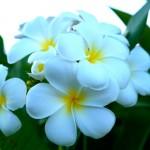 plumeria-flower