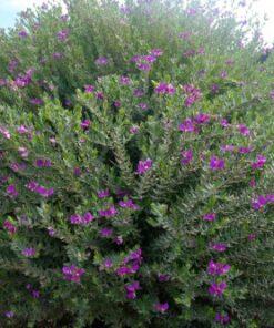 Polygala dalmaisiana dwarf shrub